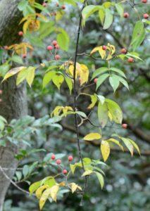 ヤマイバラの果実