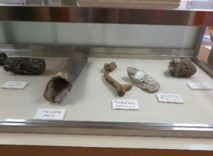 ナウマンゾウ、鹿、牡蠣の化石