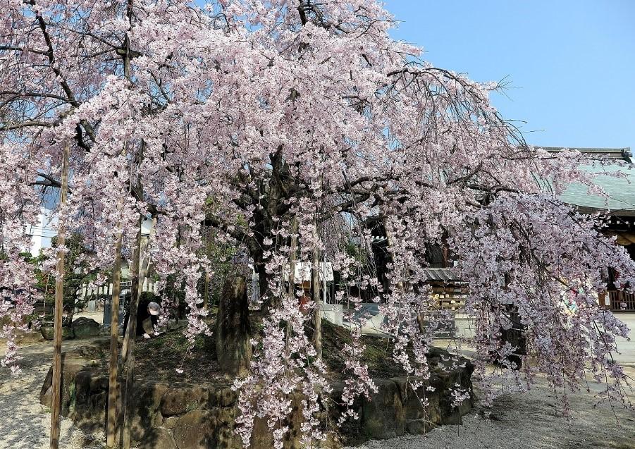 観音神社のシダレザクラ