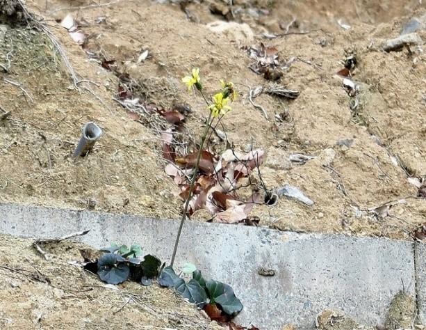 崩壊した崖に咲くツワブキ