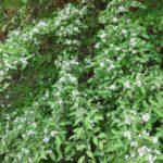 カマツカの花盛り