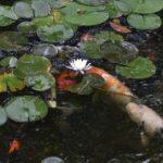 極楽寺山蛇の池のスイレン