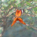 ヤママユガ保護網で交尾するツマグロヒョウモン